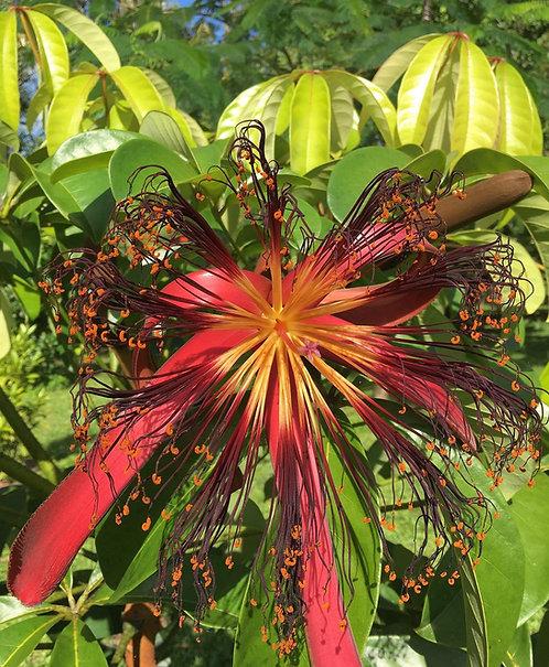 Malabar tropical chestnut (Pachira Insignis)