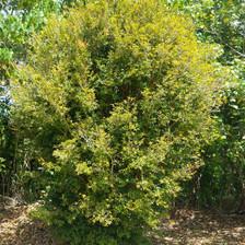 Jaboticaba tree (Small Leaf variety) 7 years old