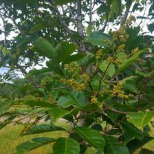 Rambutan Flowers