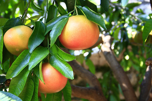 Grapefruit Tree Pink