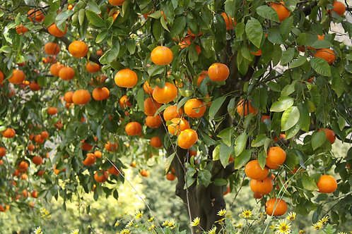 Mandarin Tree (Imperial) 3 years old