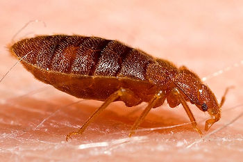 Bed Bug Control Albuquerque