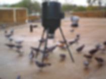 Pigeon Control Albuquerque