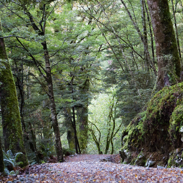 Beech Forest, Routeburn Track