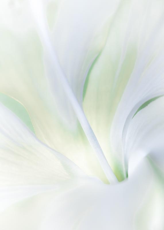 Hibiscus Dainty White 1