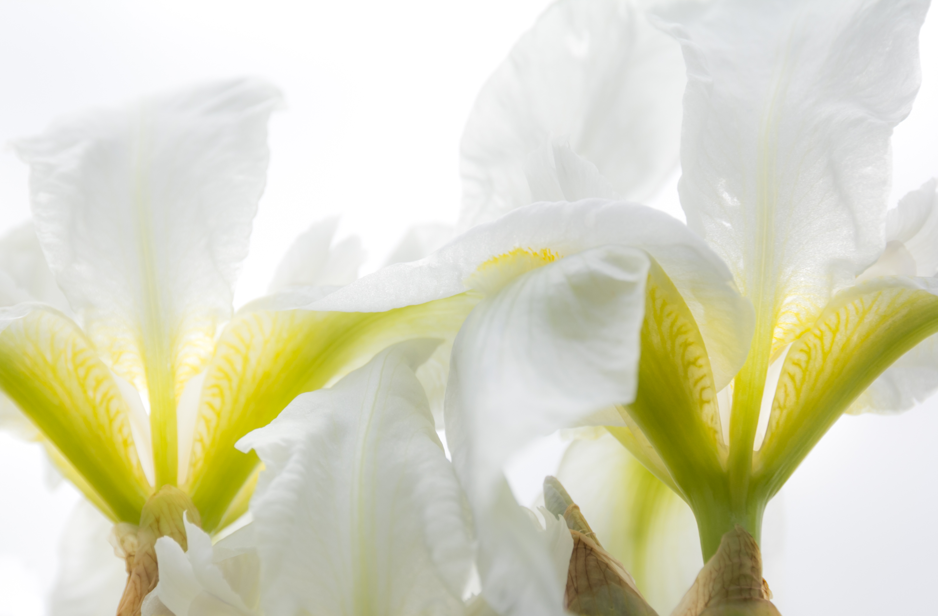 Orris root Iris