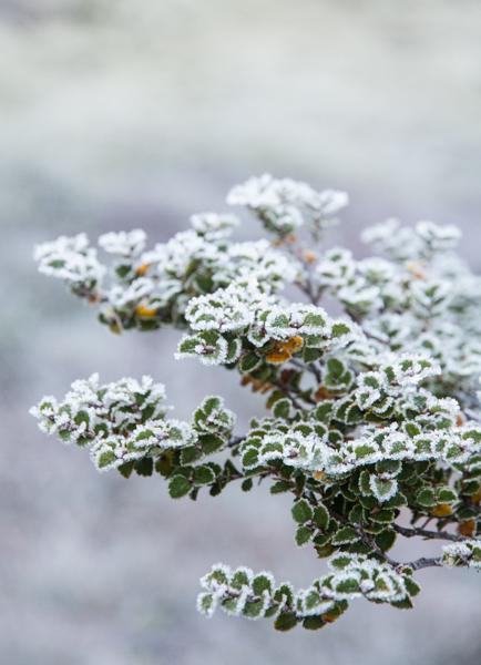 Frosty Beech