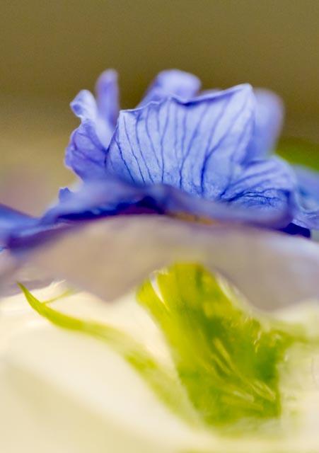 Ice Primula