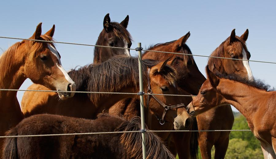 Arabian & Half-Arabians