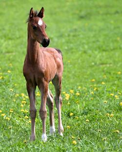 Half Arabian Filly