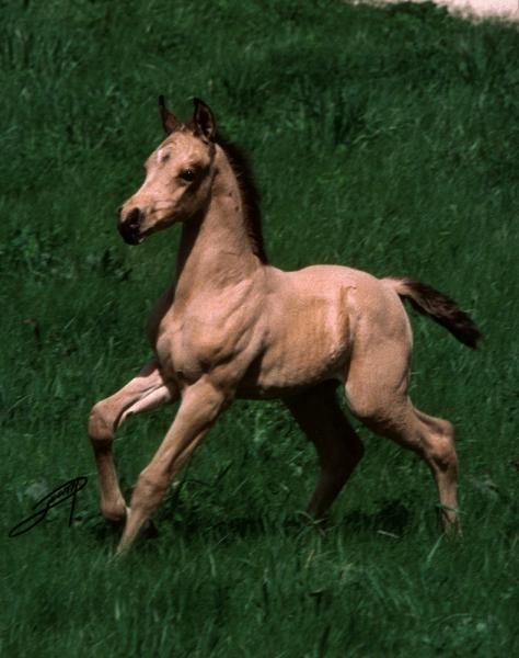 Half-Arabian Colt