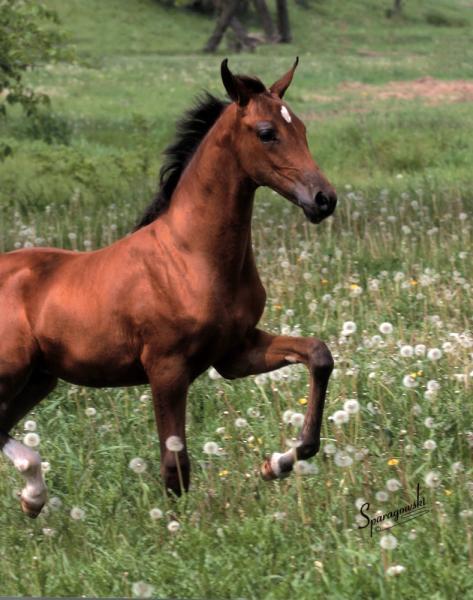 Half-Arabian Filly