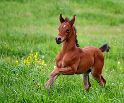 Arabian Colt