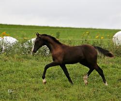 Half Arabian Colt