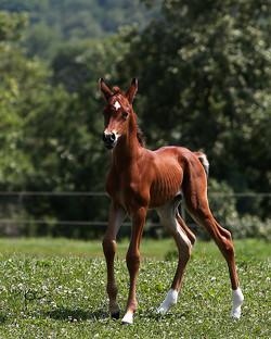 Half Arabian (3/4) Filly