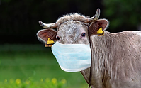 Cow in mask.png