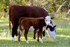 Mangrove Mountain Country Fair Cows