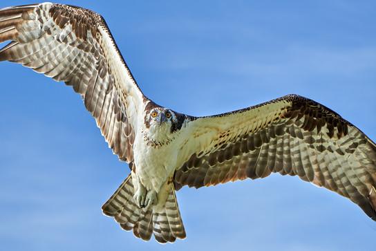 """Osprey Flyover"""