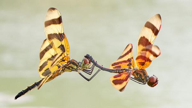 """Dragonflies"""