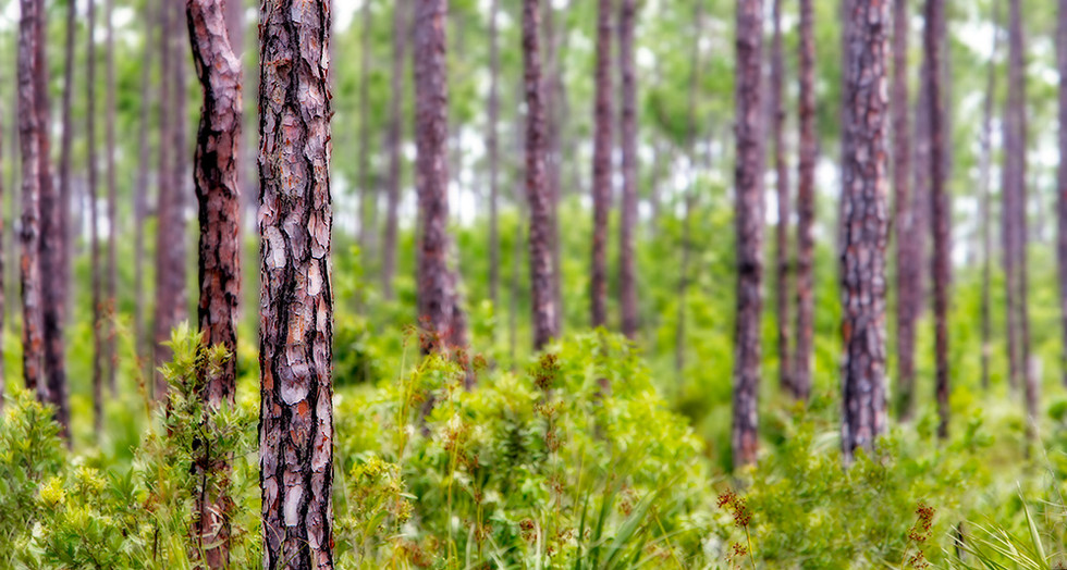"""Native Pines"""