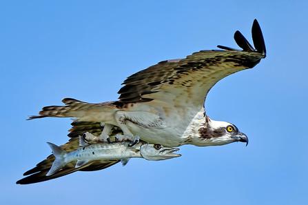 """Osprey Catch"""