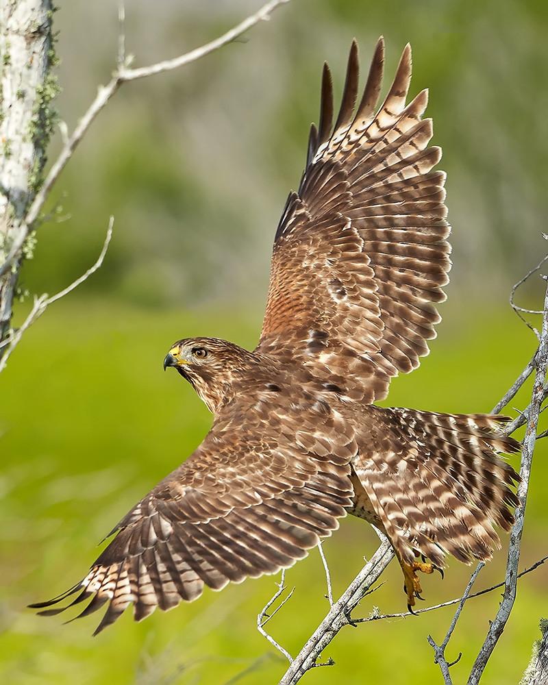 """""""Hawk Flight"""""""