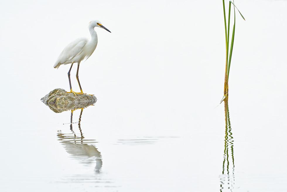 """Snowy Egret"""