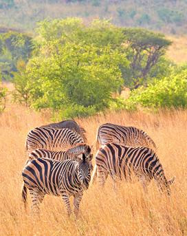 """""""Zebras"""""""