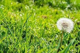 common-dandelion-green-grass.jpg