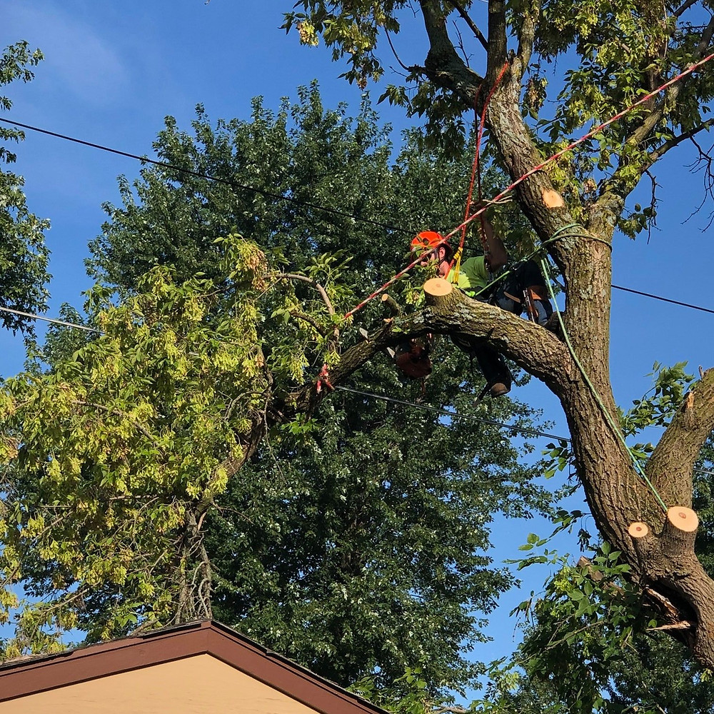 Kansas City Tree Trimmer clearing limbs from power lines