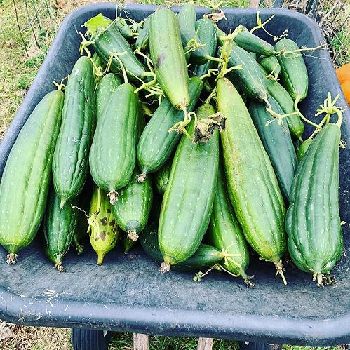 loofah harvested.JPG