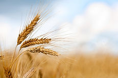 grain-harvest.jpg