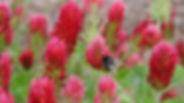 Red-Clover-iStock.jpg