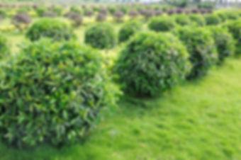 stockfresh_1126492_green-tea-trees_sizeS