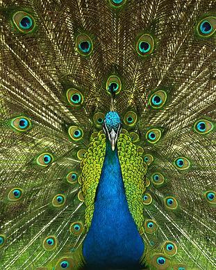 peacock-4746848_1920.jpg