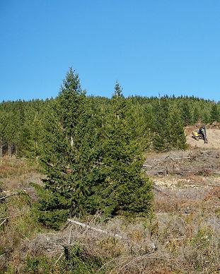 norway_spruce.jpg