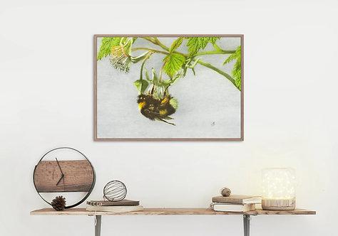Bumblebee: Pollinating Raspberry Flower.: