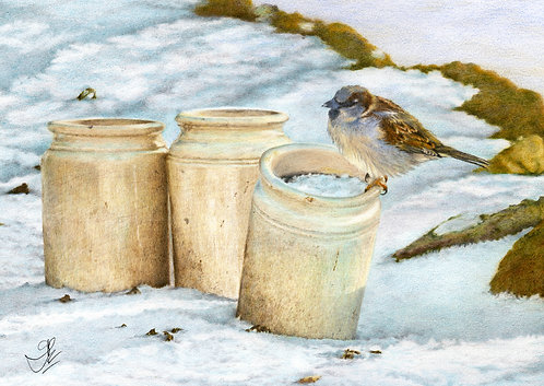 Old World House Sparrow: