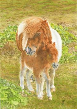 Shetland Pony & Foal
