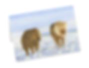 Shetland ponies greetings card