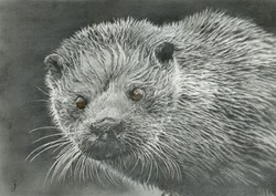 Shetland Sea Otter