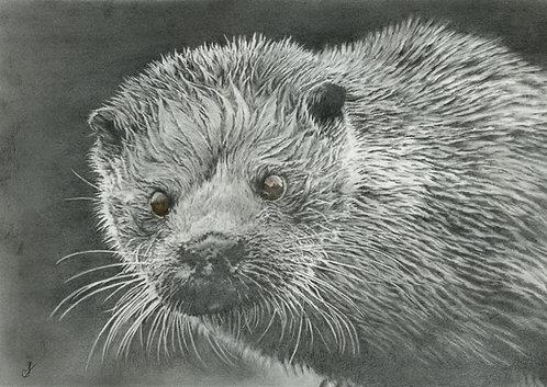 Shetland Sea Otter: Print In Mount:
