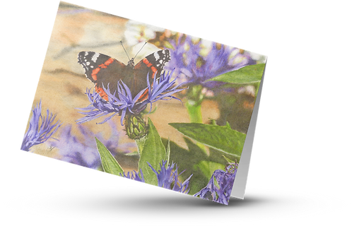 Red Admiral Butterfly: