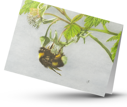 Bumblebee Pollinating Raspberry Flower: