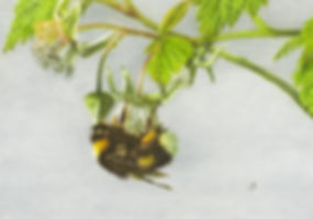 Photo realistic Bumblebee drawing