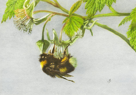 Bumblebee: Pollinating Raspberry Flower.: