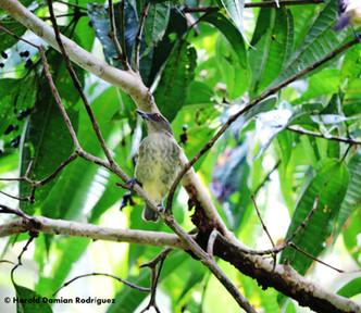 Dacnis pechiamarilla (Dacnis flaviventer)