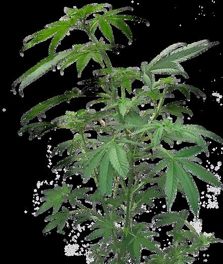 Planta Cannabis GROWLAB.png