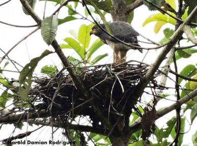 Gavilan pollero en su nido del Escondite