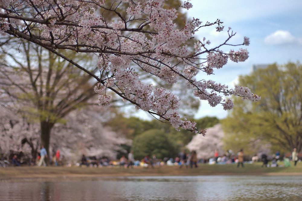 Japan - Tokyo - Sakura City - Cherry Blossom